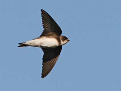 Larks, Swallows and Martins
