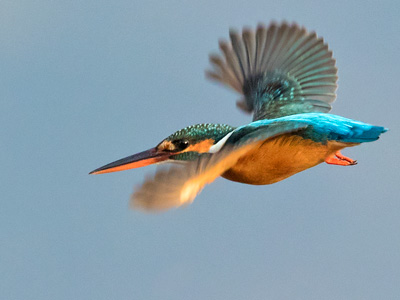 Swifts, Kingfisher, Bee-eater, Roller and Hoopoe