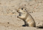Indian Desert Gerbil