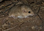 Fat-tailed Gerbil