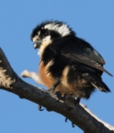 Black-thighed Falconet
