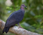 Japanese Wood Pigeon