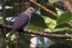 Dark-backed Imperial Pigeon