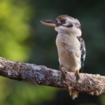 Blue-winged Kookaburra