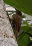 Cinnamon-throated Woodcreeper