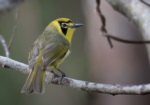 Bonin White-eye