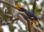 Yellow-faced Myna
