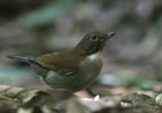 White-necked Thrush