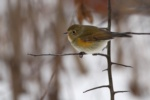 Northern Red-flanked Bluetail